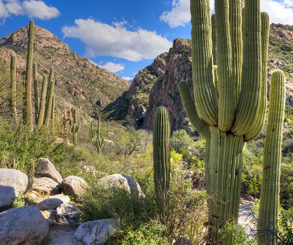Saguaros in Catalina State Park.